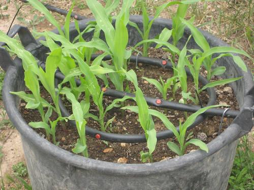 Foto 10 Maiz dulce y de palomitas Mayo 2009